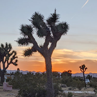 Joshua tree in the Mojave Desert near Landers, Calif.